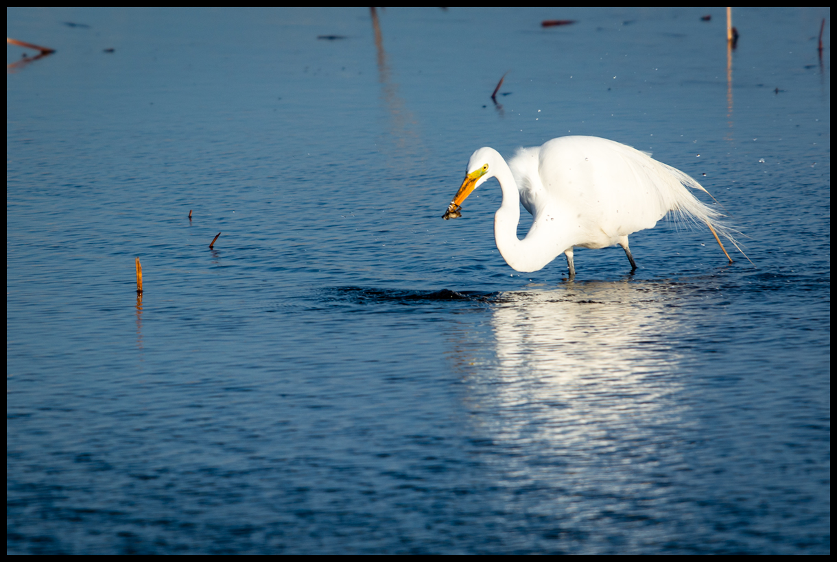 Egret Catches Frog