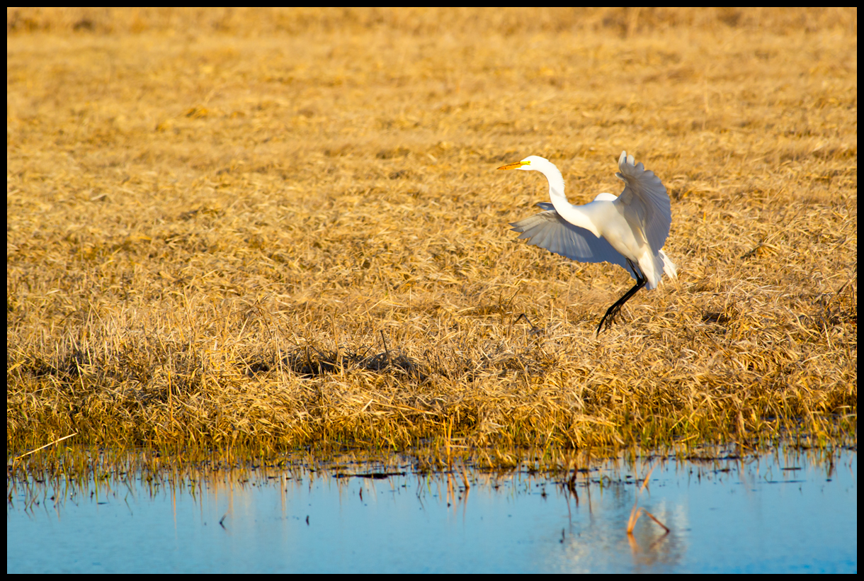 Egret In Flight.jpg