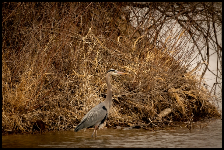 Great Blue Heron and Beaver.jpg