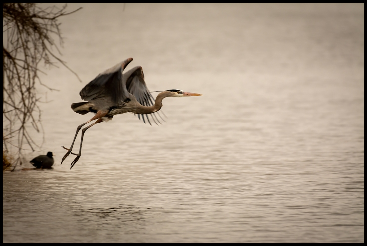 Great Blue Heron Taking Flight.jpg