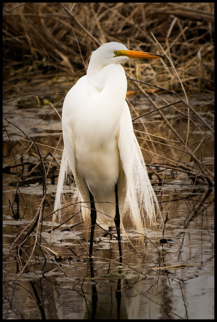 Great Egret In Breeding Plumage.jpg