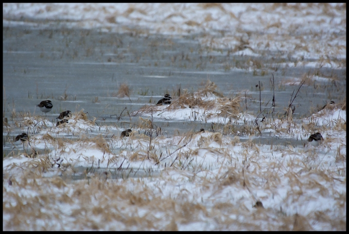 Killdeer Hiding from Wind