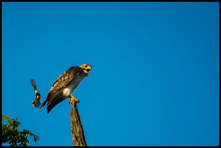 Baltimore Oriole Attacks a Red-Taile Hawk.