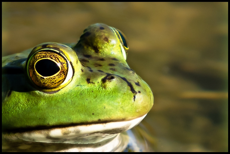 Bullfrog in early light reflecting from surface of pond.