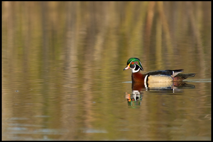 Wood Duck.jpg