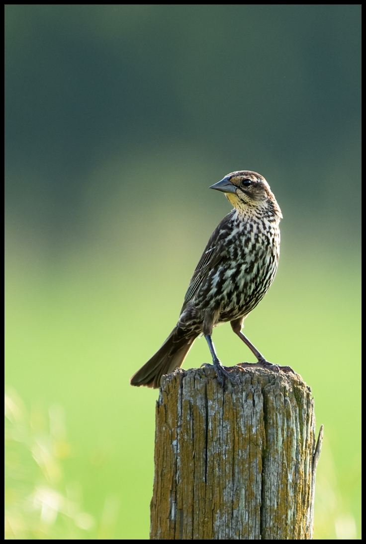 Female Red-winged Blackbird in Golden Hour