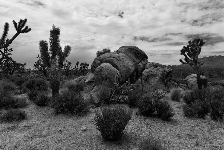 Joshua Trees Along Cima Road.jpg