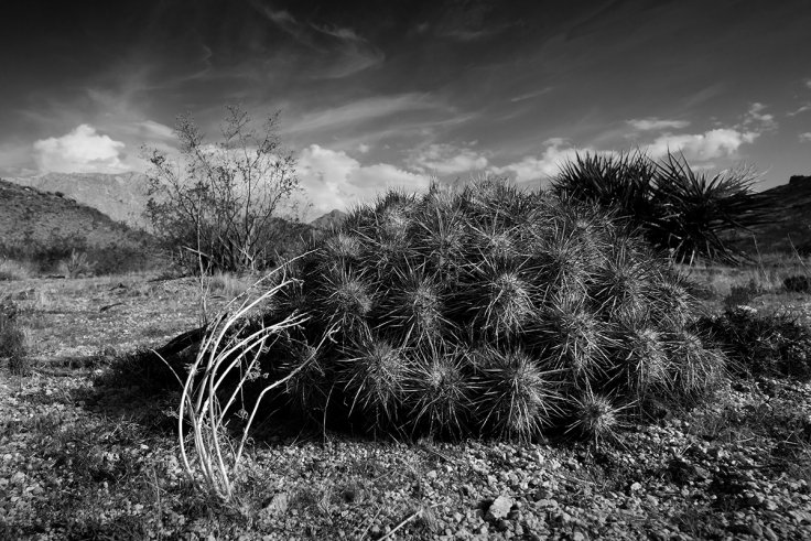 Matted Cholla cactus in Christmas Tree Pass over Spirit Mountain