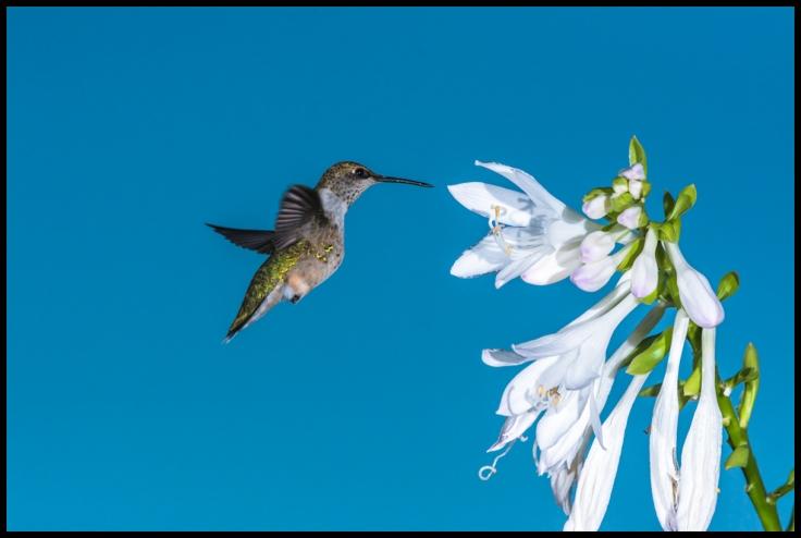 Hummingbird Approaching Hosta.jpg