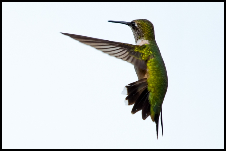 Hummingbird Facing Left.jpg