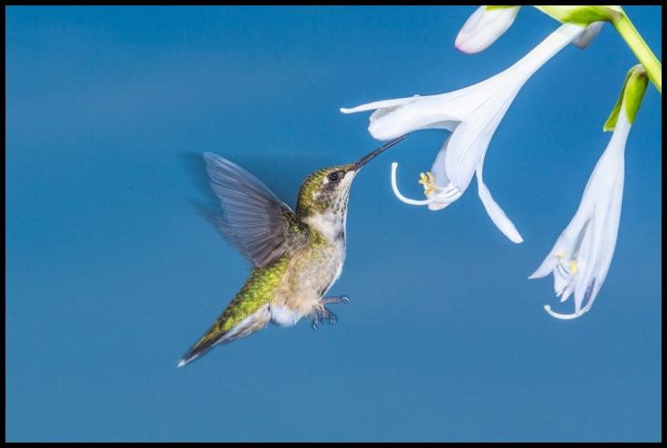 Hummingbird feeding on hosta flower.
