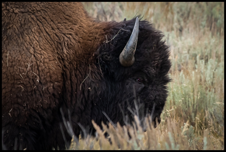 Profile of bison in Larmar Valley of Yellowstone
