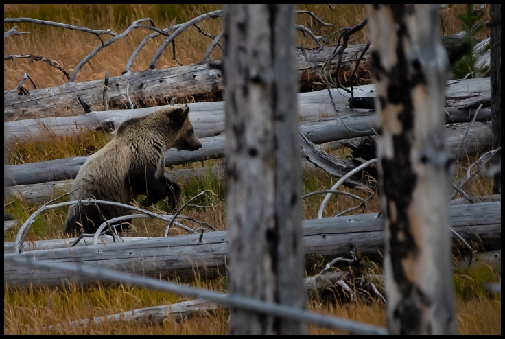 Grizzly bear hunting ground squirels in Yellowstone.